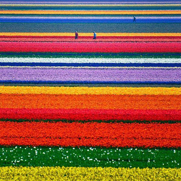 Tulip fields - Netherlands
