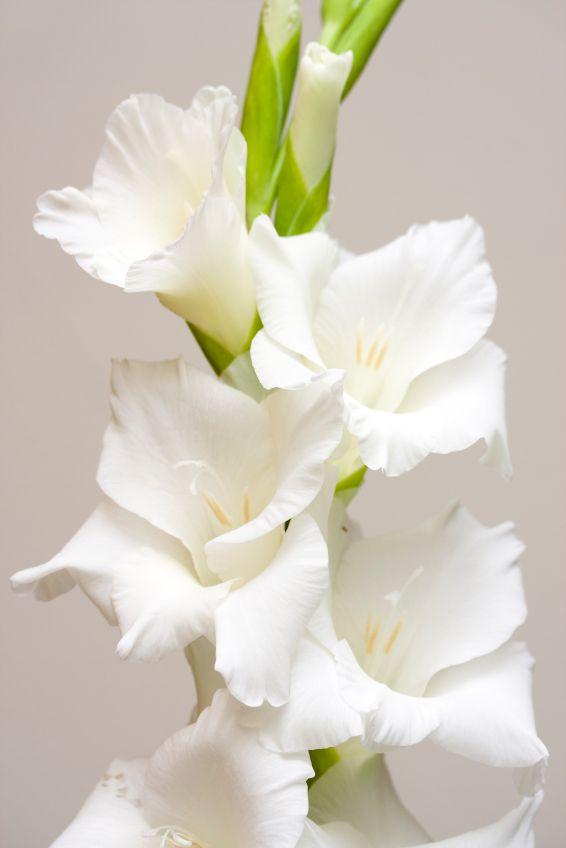 White gladiolus victorian meaning generosity im sincere white gladiolus victorian meaning generosity mightylinksfo
