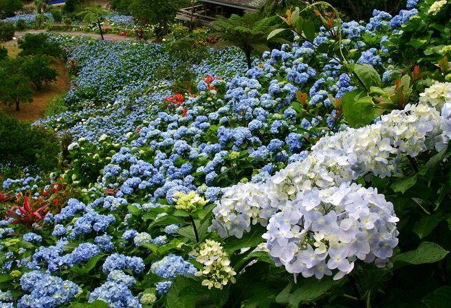 Yohena Hydrangea Garden Events Planting Hydrangeas Hydrangea Garden Hydrangea