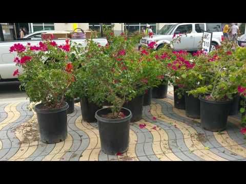 Avoid These Horrible Mistakes In Planting Bougainvillea Youtube