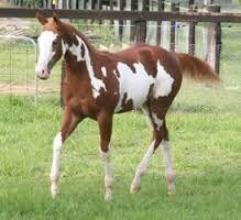Paint horse American