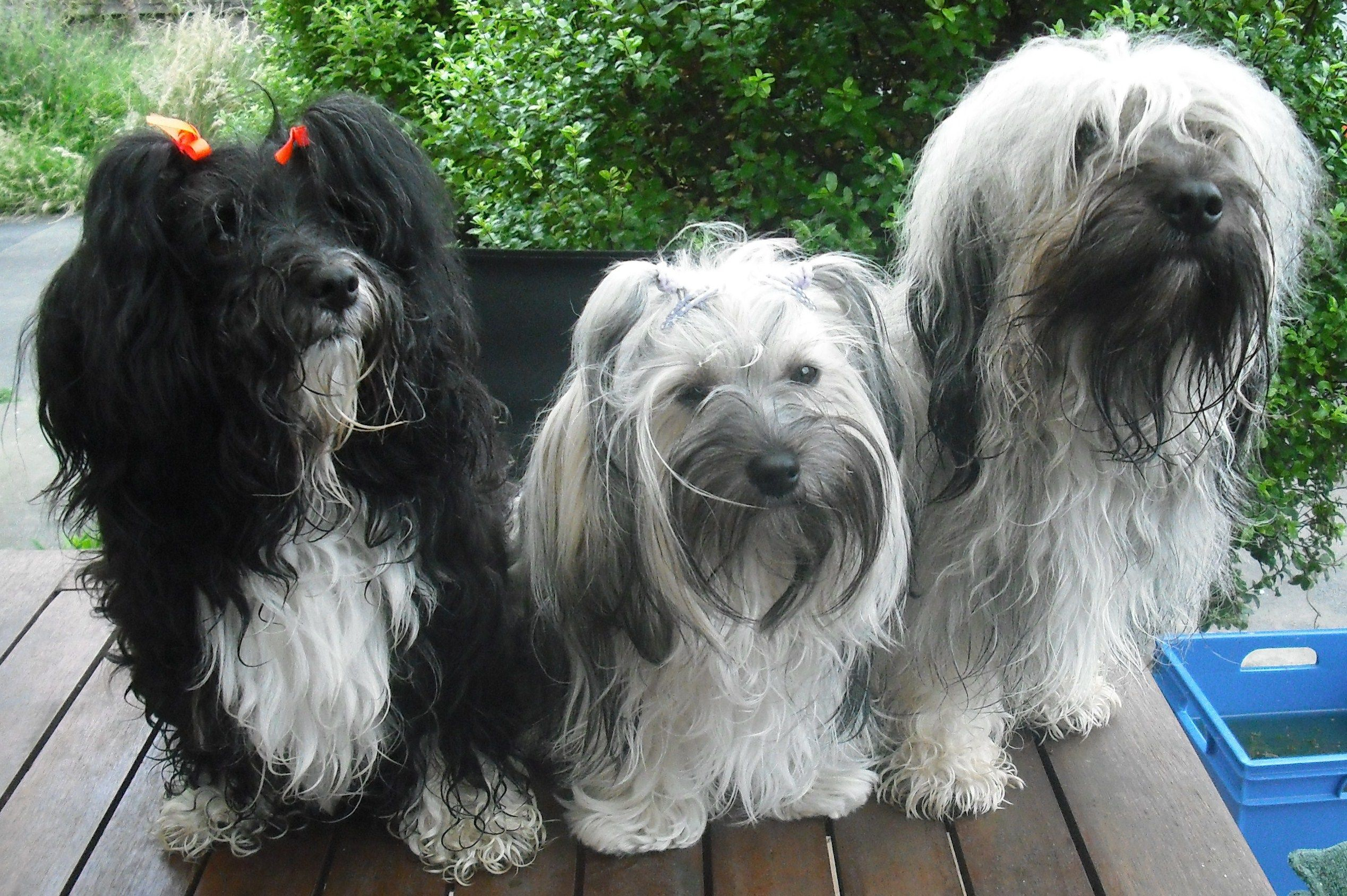 Twinkle Mum Squirrel And Grimsby Dad Havanese Dogs Havanese