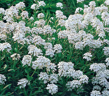 Iberis sempervirens snowflake ground cover plants white flower gardens iberis sempervirens snowflake white flower farm mightylinksfo