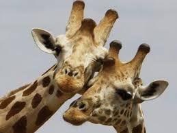 Profilbild Giraffe
