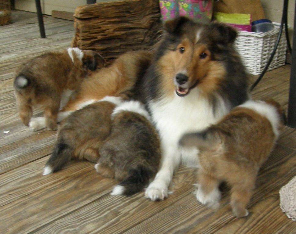 Texas Sheltie Breeders Sheltie Pups Shetland Sheepdog Puppy