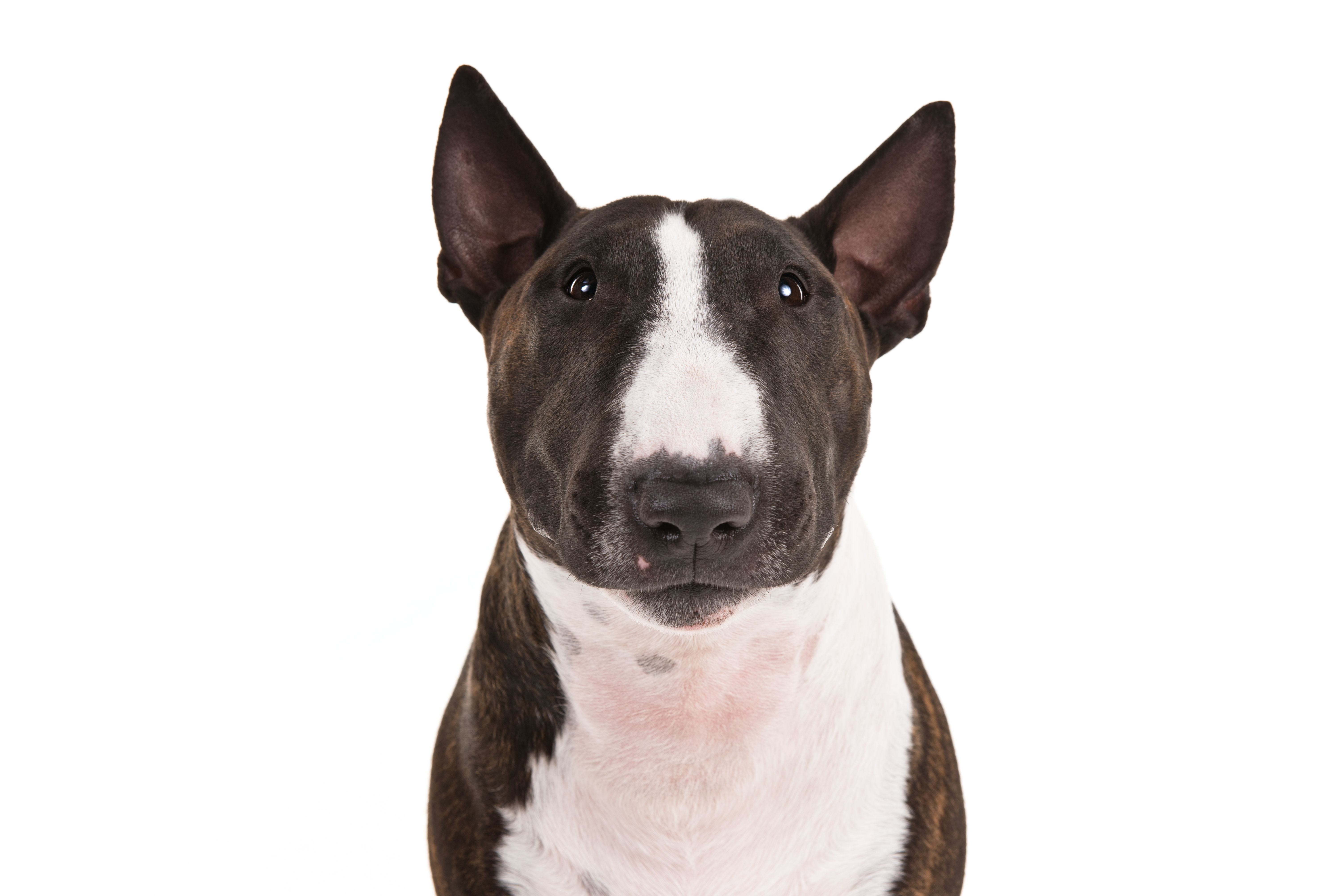 Miniature Bull Terrier Dog Breed Information Miniature Bull Terrier Pitbull Terrier Terrier Dog Breeds