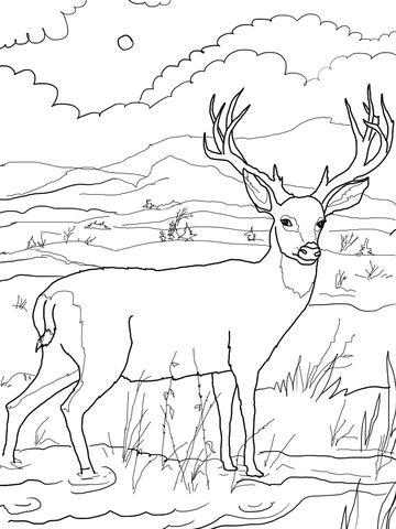 Blacktail Mule Deer Coloring page   Farvelæg billeder   Pinterest ...