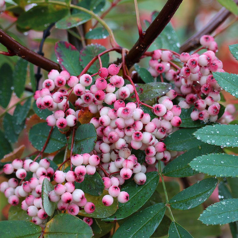 Sorbus Pink Pagoda Mountain Ash Tree Garden Flowers Plants
