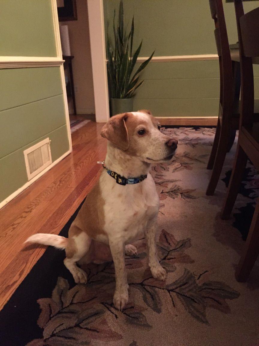 Sam Is Missing White Brown Tan Kevin Maxwell 4137316604 Pierf001 Hartfordschools Org 100 Reward Sam Went Missing Last Night Losing A Pet Losing A Dog Pet Ct