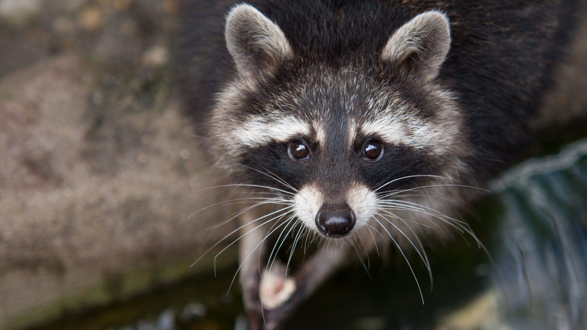 raccoon birthday meme