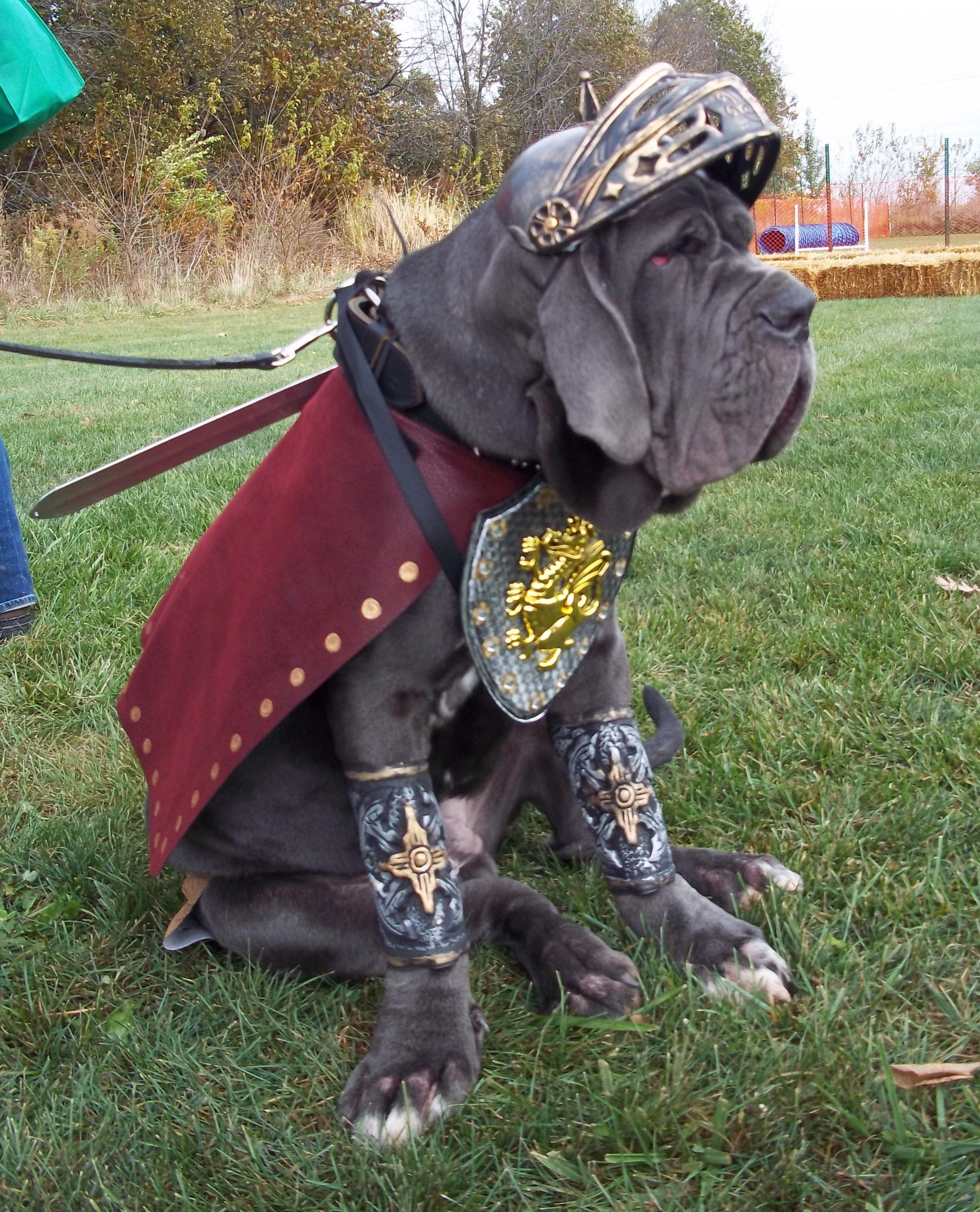 Rufio The Gladiator Mastiffs Neapolitan Mastiffs Mastiff Dogs