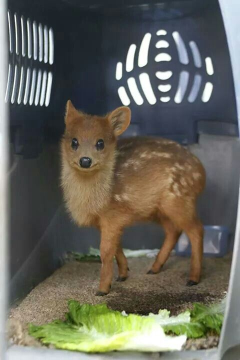 World S Smallest Deer The Pudu Cute Animals Small Deer Animals