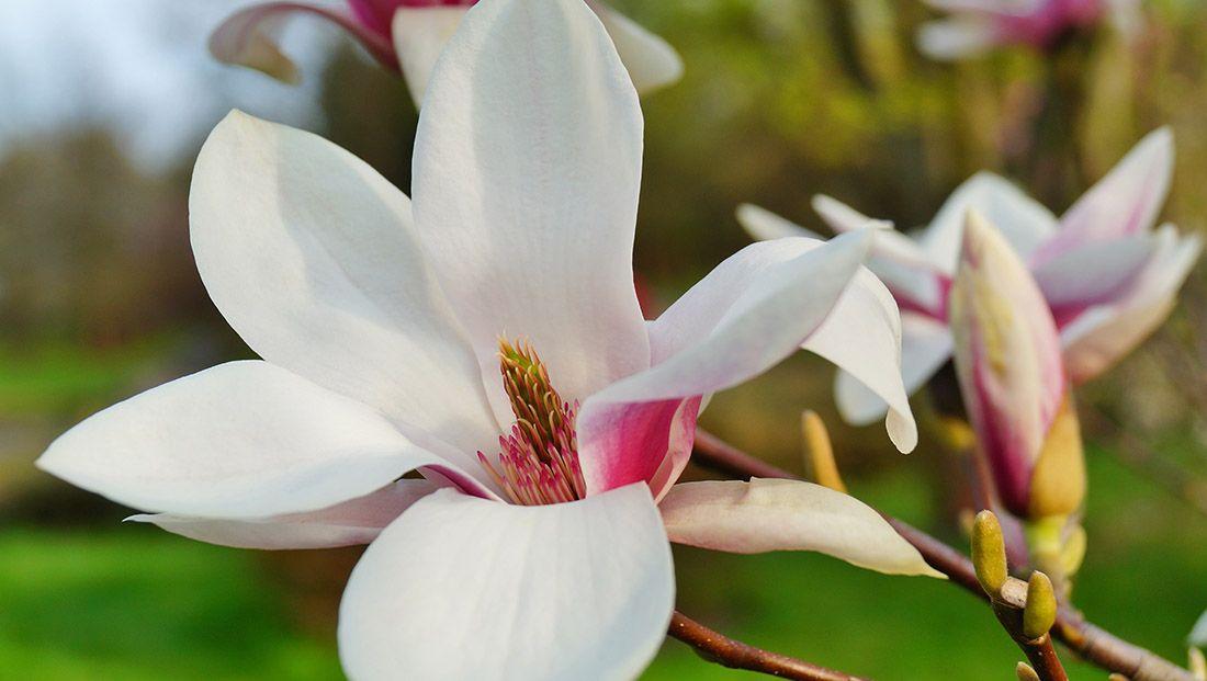 Norbertii http://www.rodalesorganiclife.com/garden/gallery-magnolias/slide/3