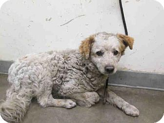 Super Urgent High Kill L A Sheltet Clumber Spaniel Mix Dog For Adoption In Los Angeles California A1623486 Dog Adoption Kitten Adoption Clumber Spaniel
