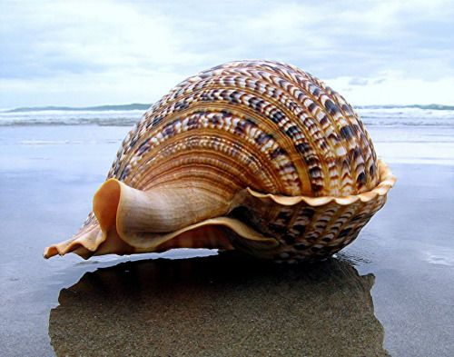 Close up of a perfect shell lying on the beach.