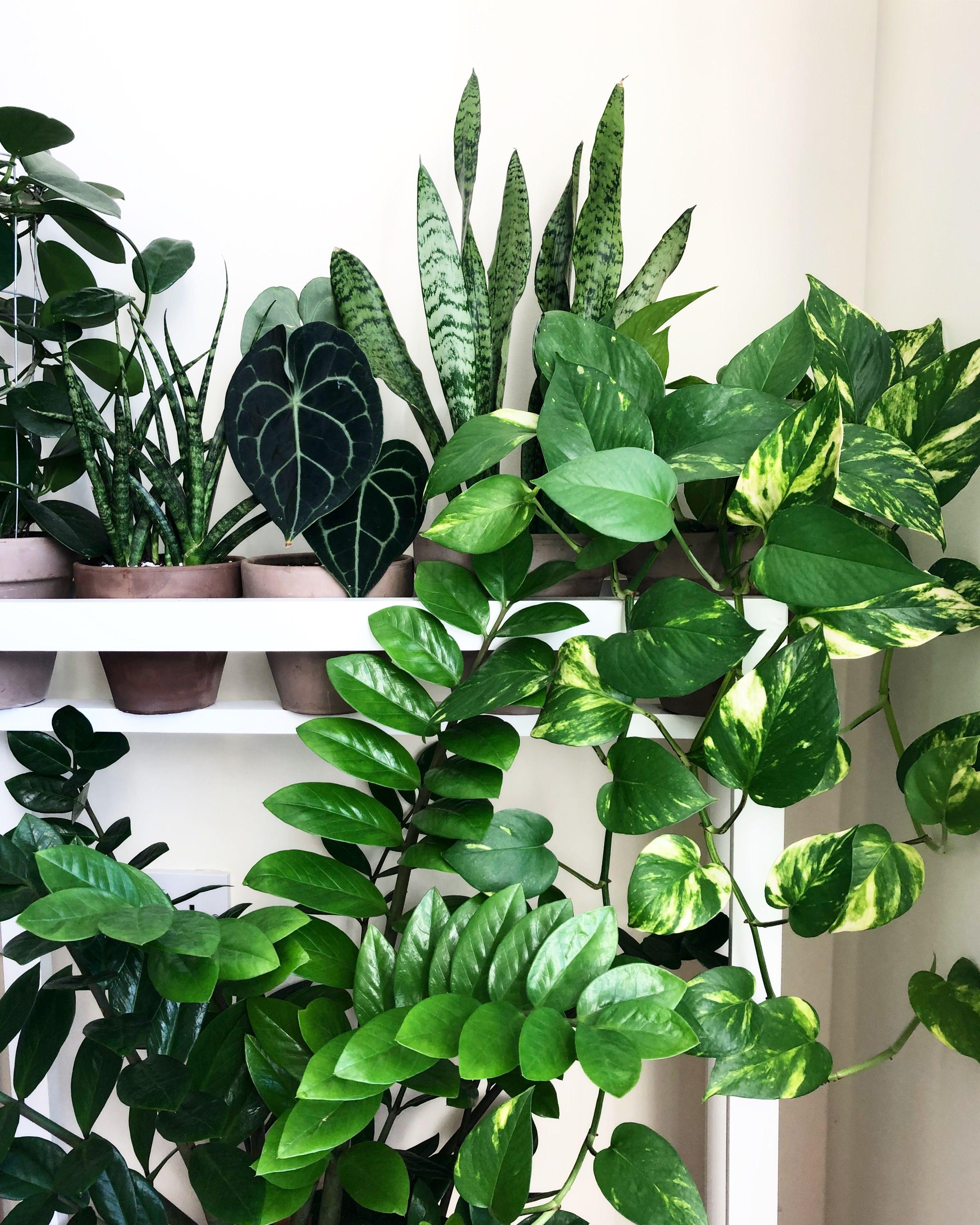 Plant Shelfie Ig Basillicana Plant Decor Plants House Plants