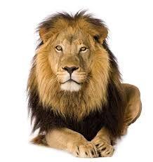نتيجة بحث الصور عن حيوانات الغابه بخلفية بيضاء Lion Poster Lion Wall Art Lions Photos