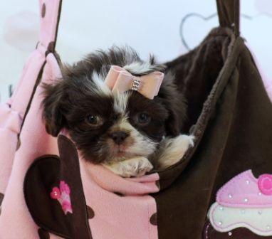 Teacup Shih Tzu Puppies Shih Tzu Puppy Cute Small Dogs Teacup Shih Tzu