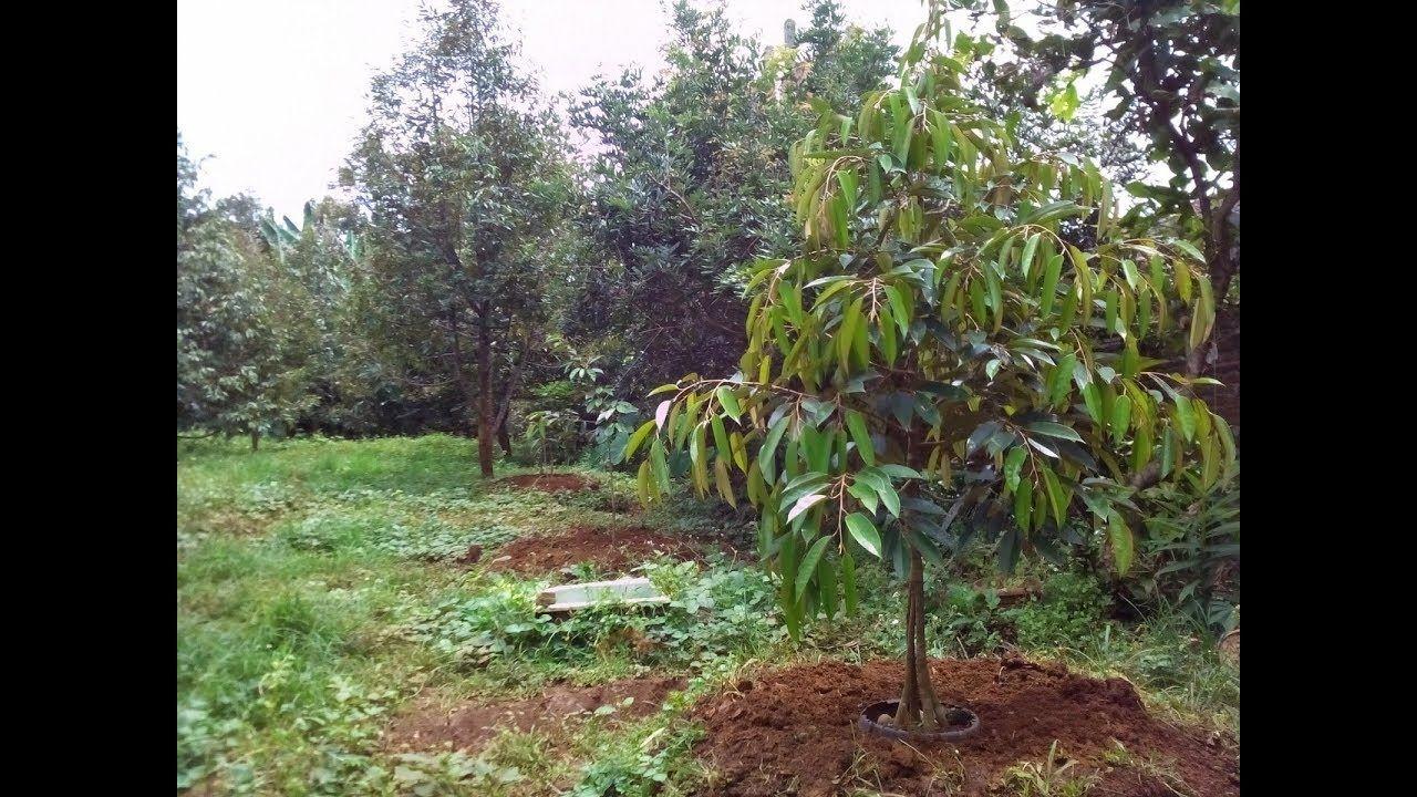 Bertanam Durian Pdf