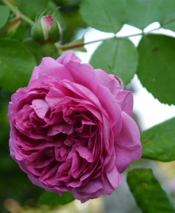 Rose: Rosa 'Louise Odier' (France, 1851)