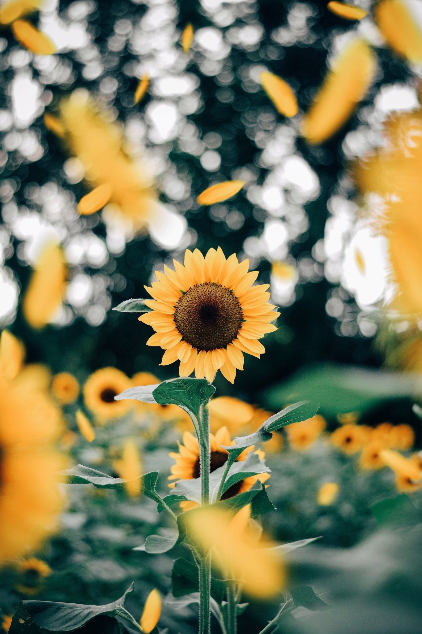 Pin By My Nguyễn On Cute Sunflower Wallpaper Sunflower Photography Flowers Photography