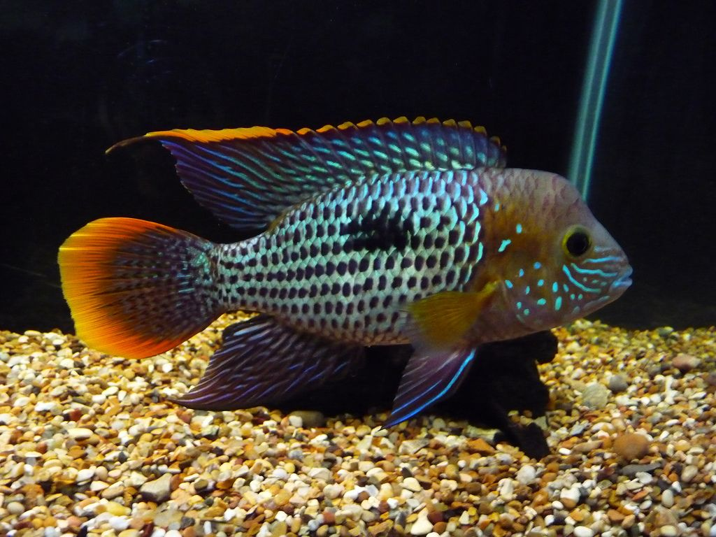 Freshwater aquarium fish in south africa - I Thought I Would Start This Thread To See What Kind Of Fish Everyone Wants Not What You Already Have I Ll Start Maybe My List Will Change When I See What