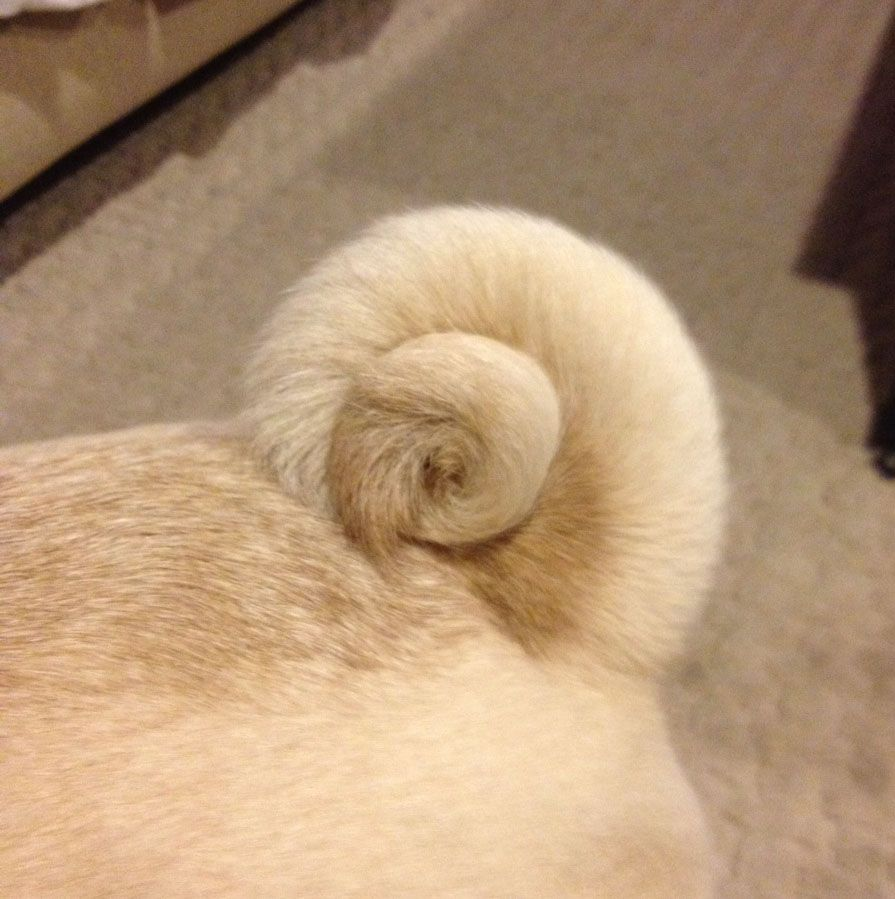 Don T See A Double Curl Often Pugs Pug Lover Pug Life