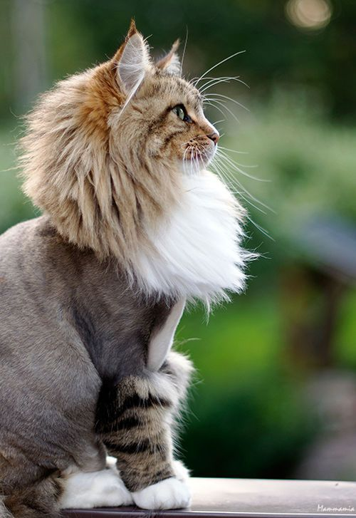 Colorful Dreams Catgroomingstyles Unique Cats Cat Haircut Cat Grooming Styles