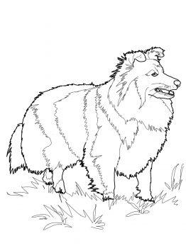 Shetland Sheepdog Dog Coloring Page Shetland Sheepdog Shetland