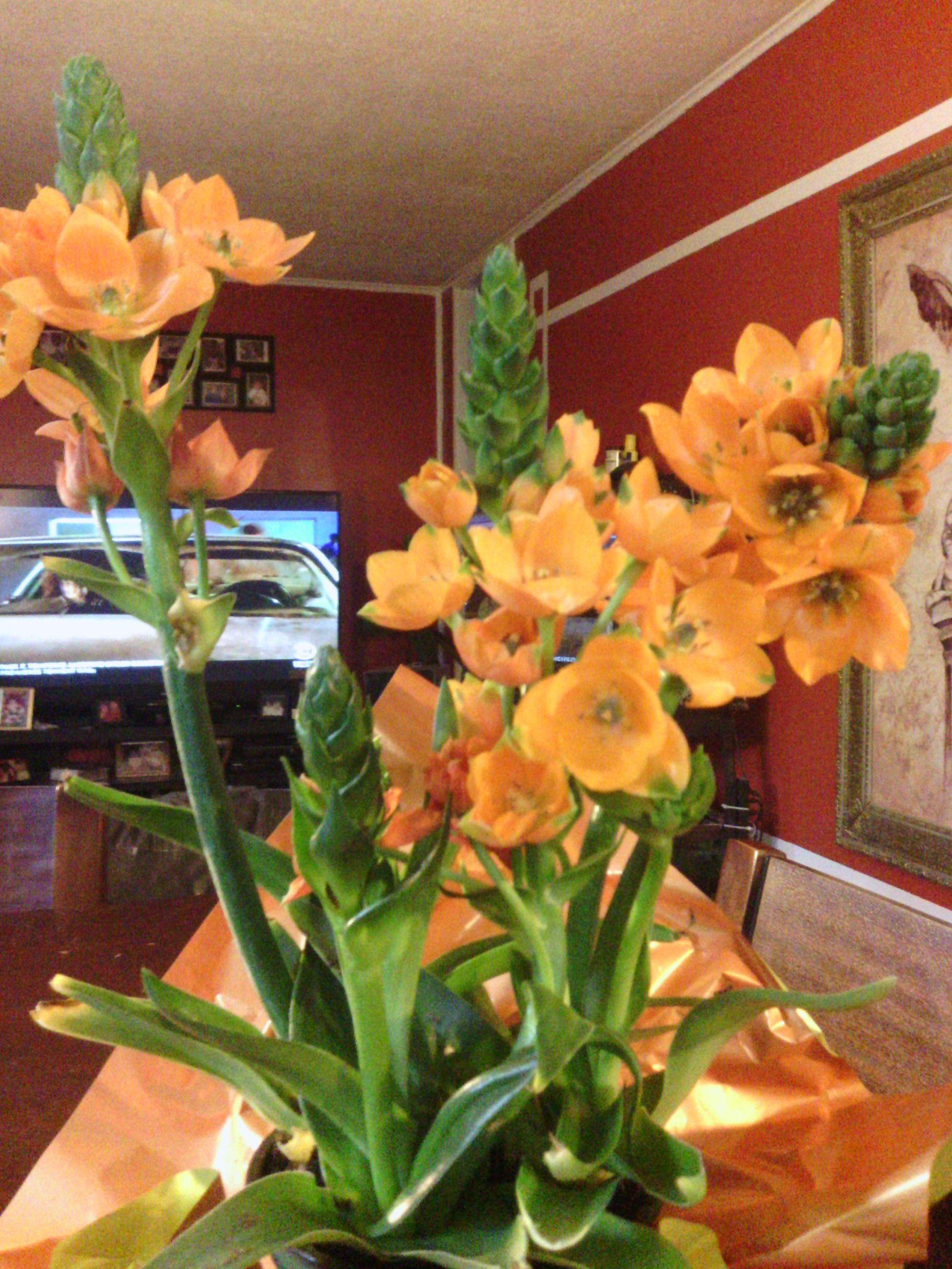 Orange Star Plant Indoor Plants