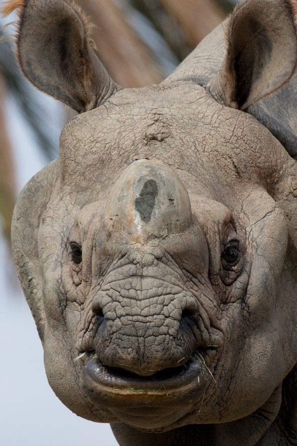 Black, white and Sumatran rhinos have two horns; Javan and greater one-horned rhinos have one.