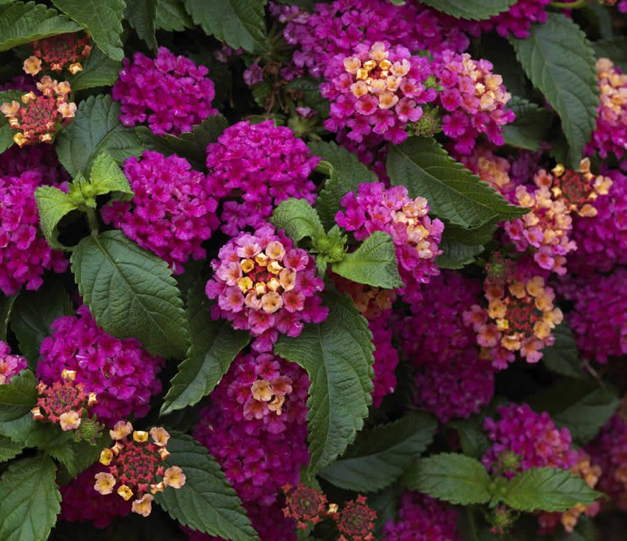 West Indian Lantana Lantana Camara Plants Lantana Flower Pots