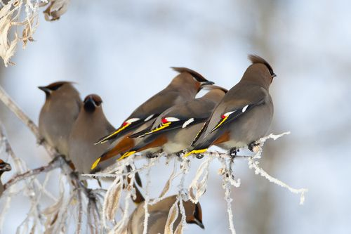 More Bohemian Waxwings        (by alan.griffin16)    (via anythingavian)