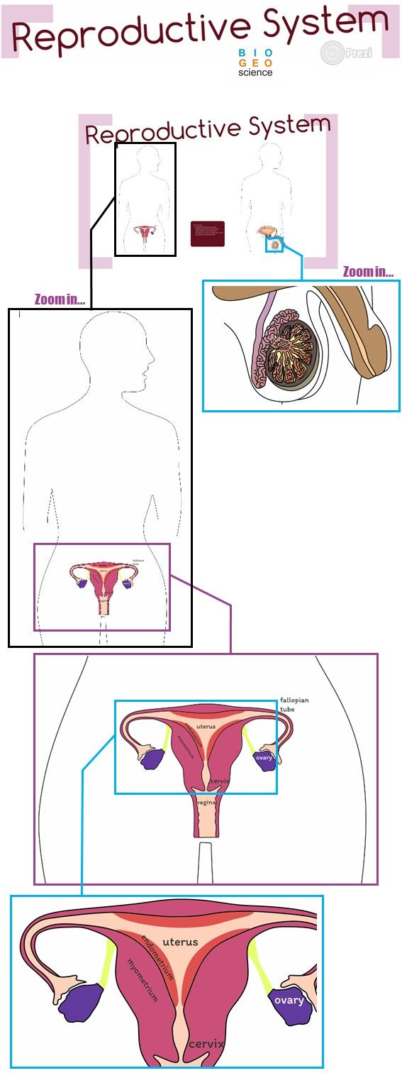 Reproductive System Grades 6 to 12 – Menstrual Cycle Worksheet