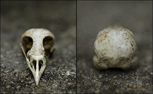 Crow Skull Front