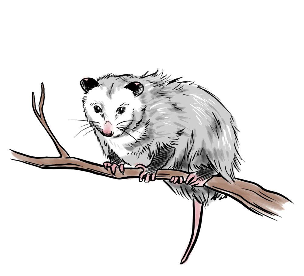 How to Draw an Opossum -- via wikiHow.com | Animals ...