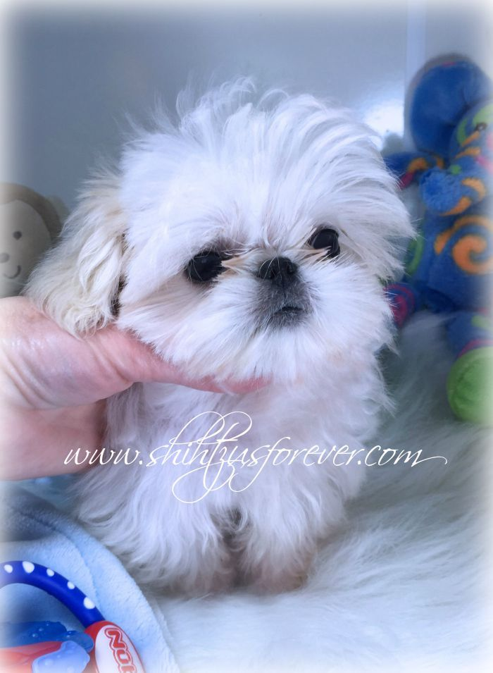 shih tzu puppies rescued shih tzupuppies for sale goldenacresdogs com 3626