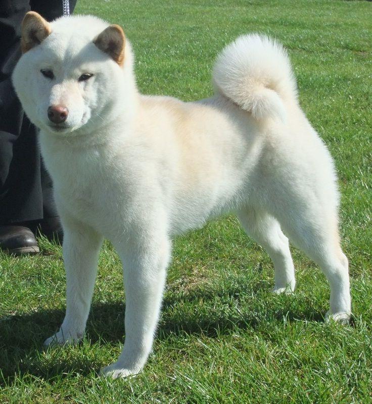 Rare Japanese Dog Breeds Japanese Dogs Japanese Dog Breeds Shiba Inu