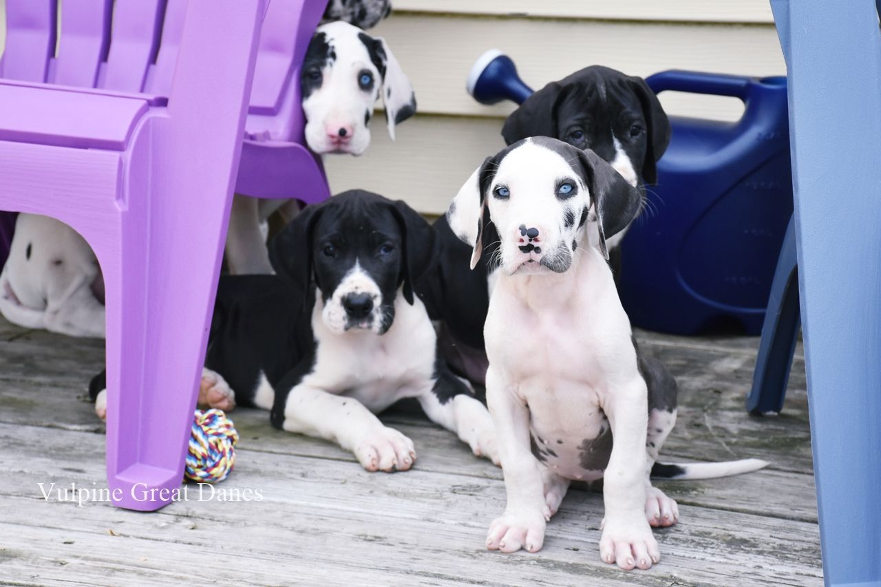 Puppies Blue Eyed Harlequin Girl Great Dane Harlequin Great
