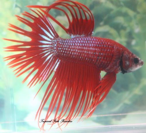 Red-Green-Yellow-Crowntail-Male-Imported-Betta-Fish-CT07