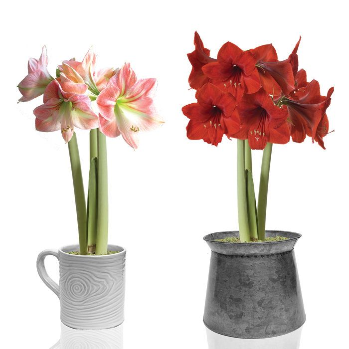 Amaryllis Gift Collection | Gift collections, Brookstone ...