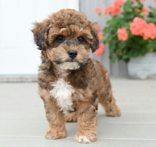 Jax Is A New Addition To Our Home He Is A Poo Ton Puppy Sometimes Called A Coton Poo He Is A Mix With A Toy Poodle And A C Coton De Tulear