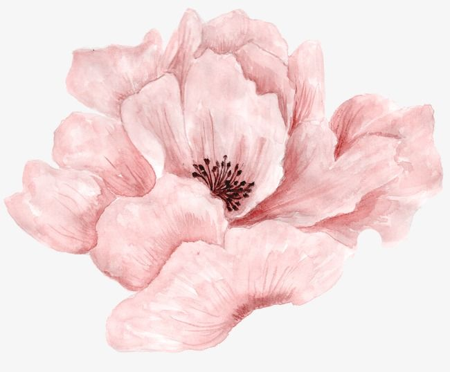 Beautiful Pink Flowers In Full Bloom Flowers Plant Watercolor