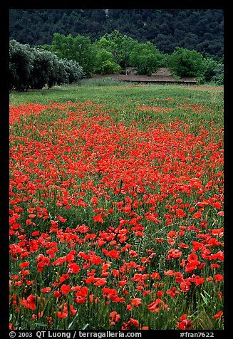 Red poppies and farm in the distance. Marseille, France