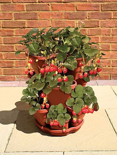 Growing Strawberries In Containers Growing Strawberries In Containers Strawberry Plants Strawberries In Containers