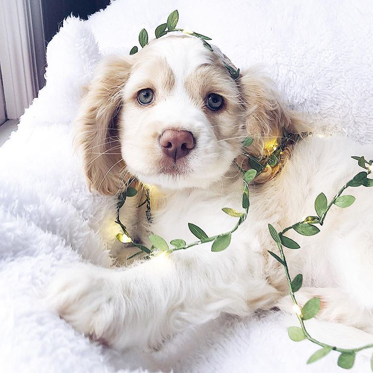 Adaline The Forest Fairy Cocker Spaniel Puppy English