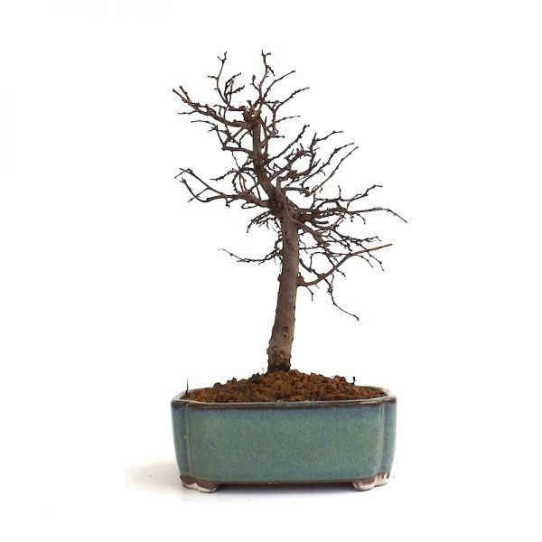 acheter un vrai bonsai shohin zelkova serrata 22 cm chez votre sp cialiste de la vente de bonsai. Black Bedroom Furniture Sets. Home Design Ideas