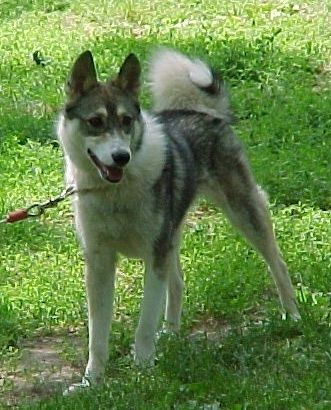 West Siberian Laika Dogs Dog Breeds Snow Dogs