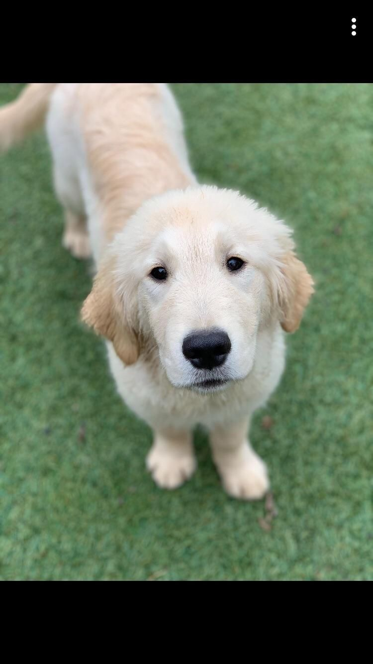 Meet Doug The Cutest 5 Month Old Golden 5 Month Olds Cute Dog