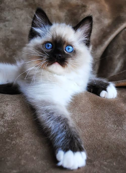 Pin By Cindy Hertz 1st Board On Animals Cats Best Cat Breeds Ragdoll Cat Breeders Beautiful Cats